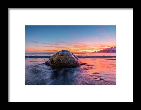 Animal Framed Print featuring the photograph South Georgia Island, St by Jaynes Gallery