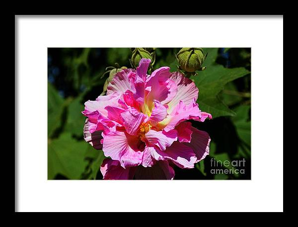 Confederate Rose Framed Print featuring the photograph Southern Beauty by Debra Johnson
