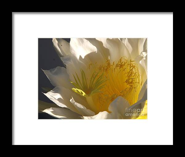 Dragon Fruit Framed Print featuring the photograph Spectacular Dragon Fruit Bloom by Jussta Jussta