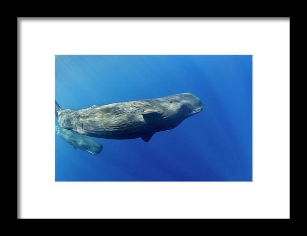 Underwater Framed Print featuring the photograph Sperm Whale Pyseter Macrocephalus by Stephen Frink