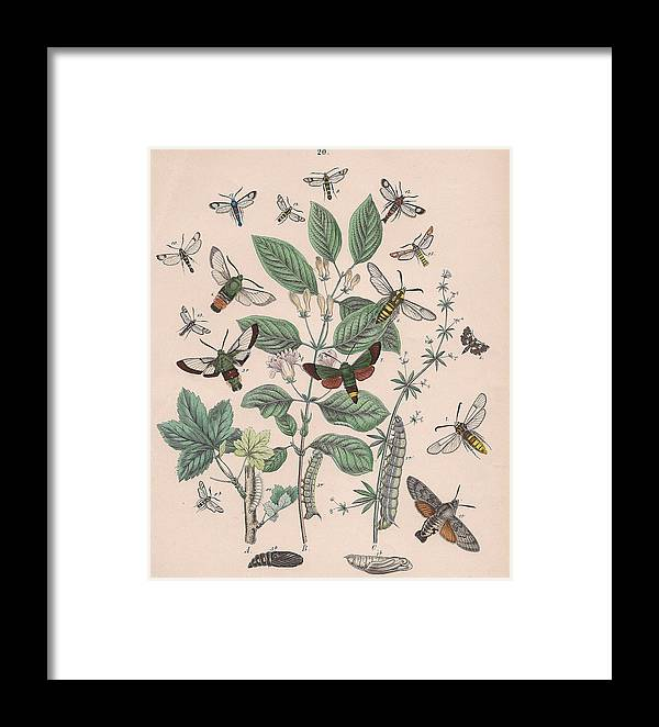 Butterfly Framed Print featuring the drawing Sphingide - Thrididae - Seslidae by W Kirby