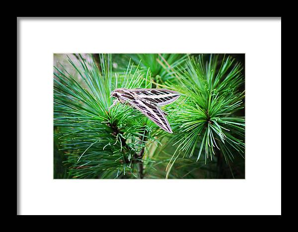 Nature Framed Print featuring the photograph Sphinx Moth by Sarah Boyd