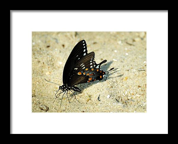 Papilio Troilus Framed Print featuring the photograph Spicebush Swallowtail Papilio Troilus by Rebecca Sherman