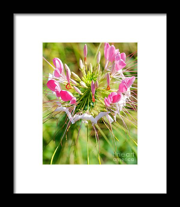 Spider Flower Framed Print featuring the photograph Spider Flower by Optical Playground By MP Ray