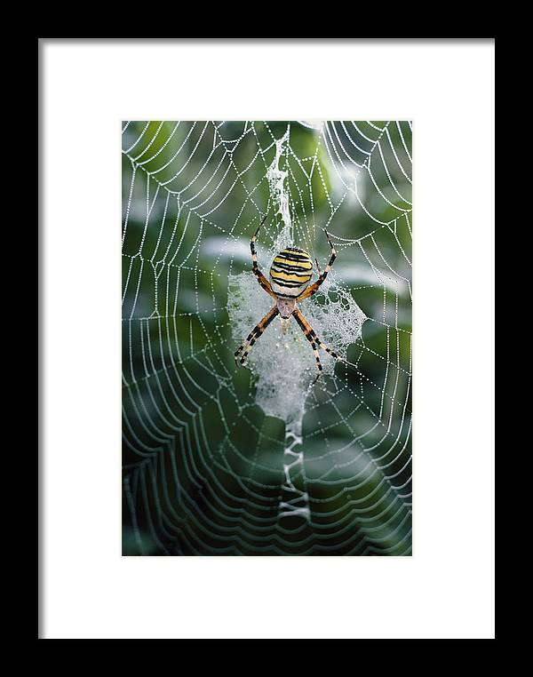 Animal Framed Print featuring the photograph Spider On Its Web by Perennou Nuridsany