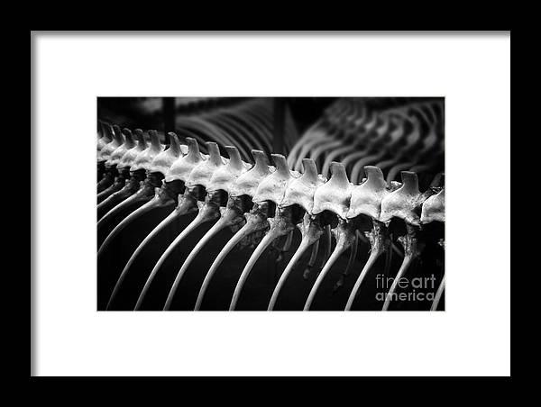 Spinal Bones Framed Print featuring the photograph Spinal Bones by Jolanta Meskauskiene