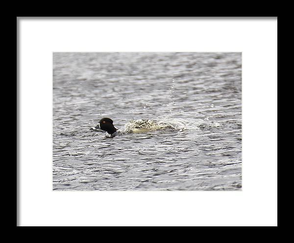 Duck Framed Print featuring the photograph Splash by Bonnie Sams