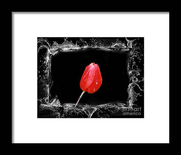 Tulip Framed Print featuring the photograph Splashy Red Tulip by Linda Rae Cuthbertson