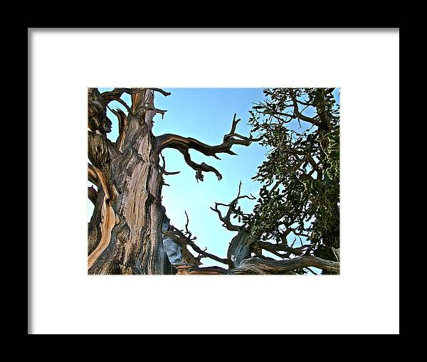 Spooky Bristlecone Pine At Spectra Point On Ramparts Trail In Cedar Breaks National Monument Framed Print featuring the photograph Spooky Bristlecone Pine At Spectra Point On Ramparts Trail In Cedar Breaks National Monument-utah by Ruth Hager