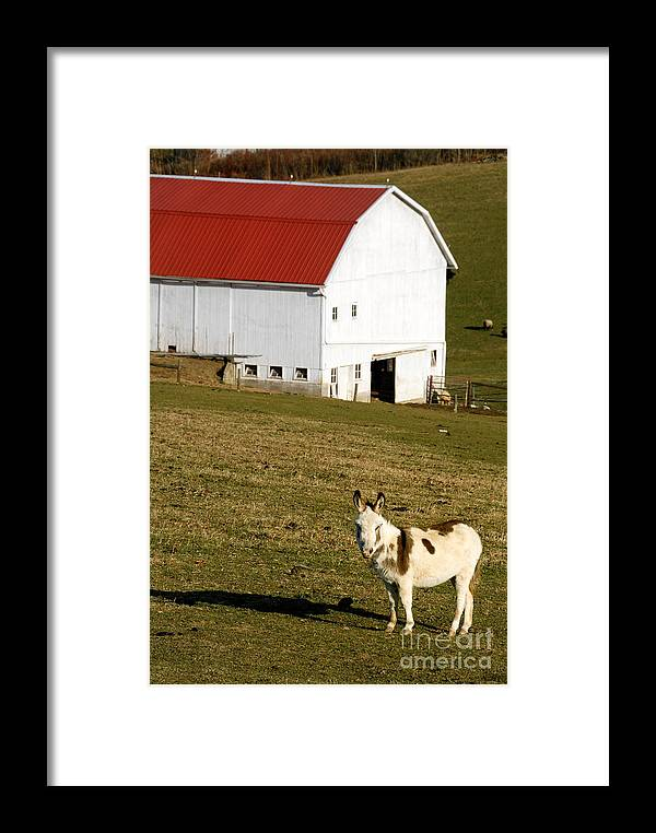Ass Framed Print featuring the photograph Spotted Donkey Looks Uninterested by Amy Cicconi