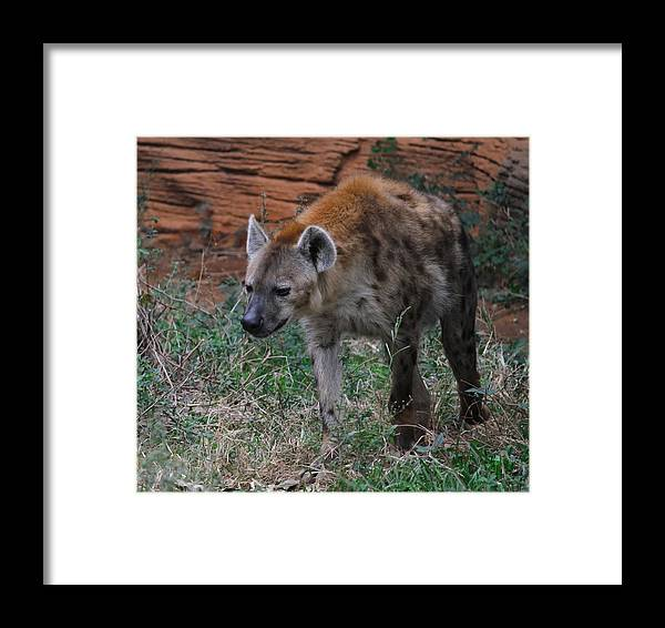 Hyena Framed Print featuring the photograph Spotted Hyena by Cathy Lindsey