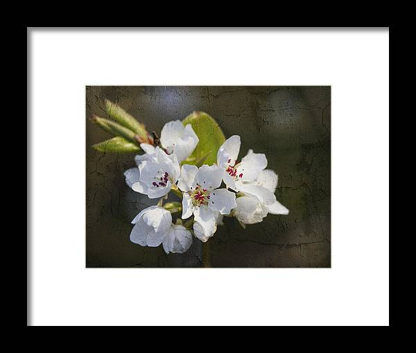 Pyrus Calleryana Framed Print featuring the photograph Spring Blossoms by Kathy Clark