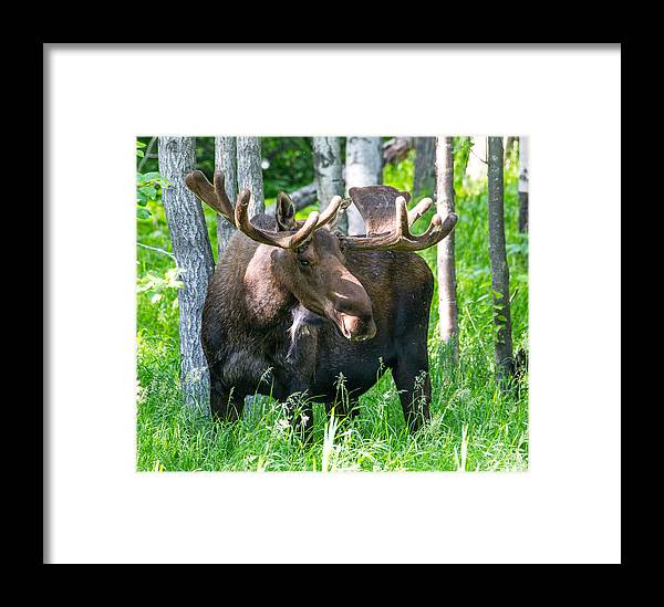 Sam Amato Framed Print featuring the photograph Spring Bull Moose by Sam Amato