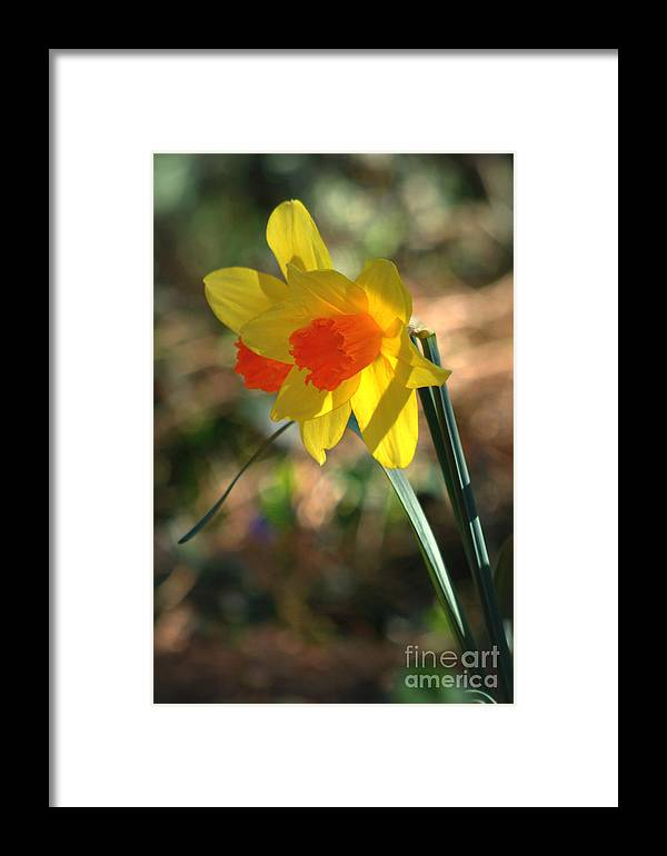 Diana Graves Photography Framed Print featuring the photograph Spring Daffodils by K D Graves