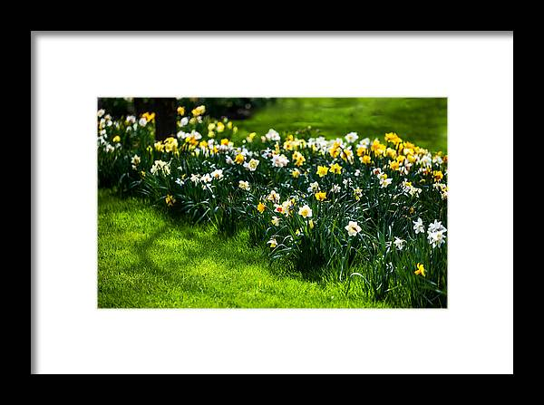 Spring Framed Print featuring the photograph Spring Daffodils. Park Keukenhof by Jenny Rainbow
