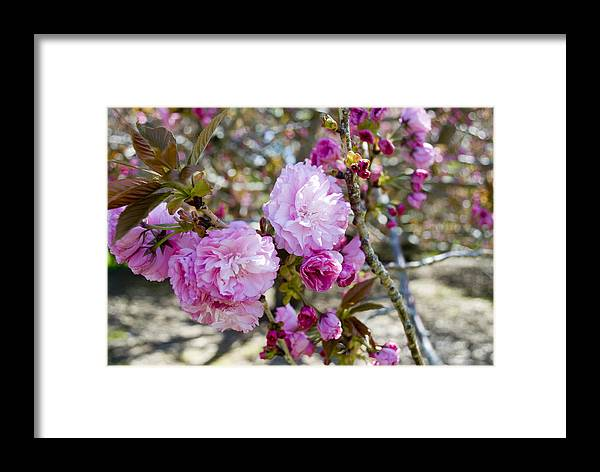 Flower Framed Print featuring the photograph Spring Has Sprung by Breanna Calkins