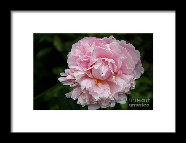 Peony Framed Print featuring the photograph Spring In Pink by Christiane Schulze Art And Photography