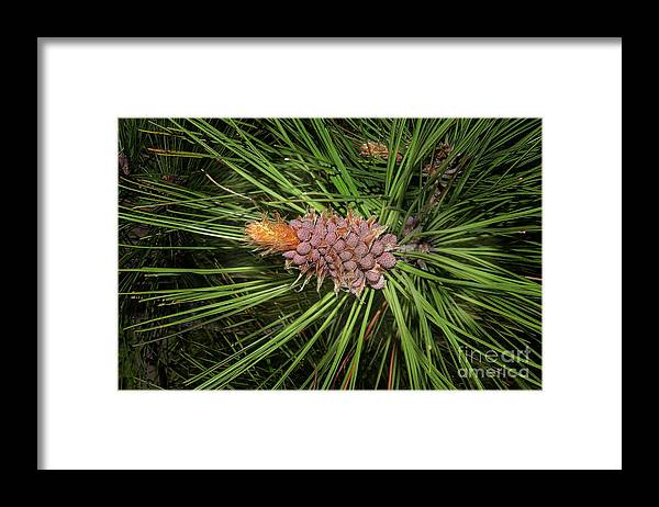 Pine Framed Print featuring the photograph Spring In The Pines by The Stone Age