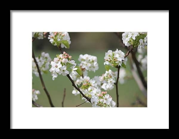 Spring Pear Blooms Framed Print featuring the photograph Spring Pear Blooms by Greg Short