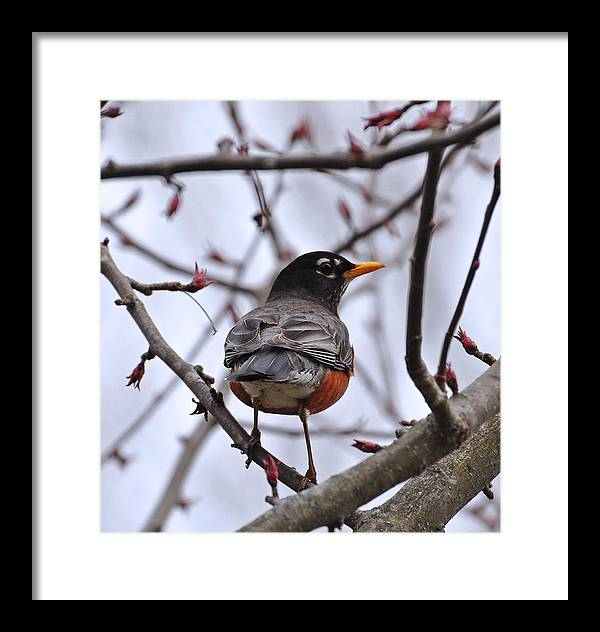 Bird Framed Print featuring the photograph Spring Robin by Mary Anne Williams