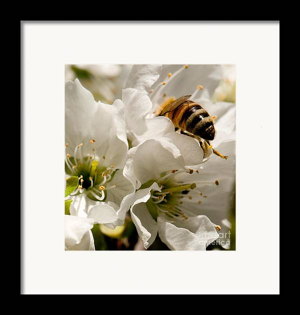 Bee Framed Print featuring the photograph Spring Time Cherry Blossoms by Artist and Photographer Laura Wrede