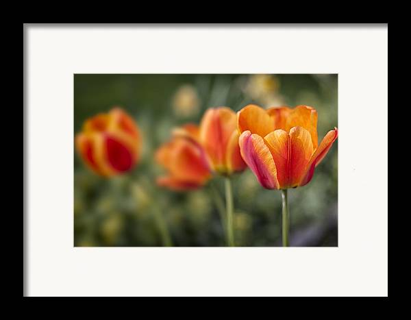 3scape Photos Framed Print featuring the photograph Spring Tulips by Adam Romanowicz