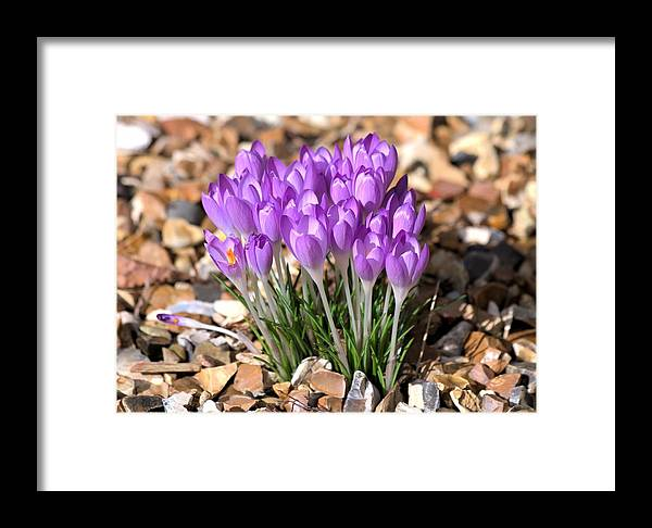 Spring Flowers Framed Print featuring the photograph Springflowers by Gordon Auld