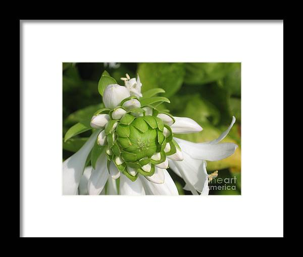 White Framed Print featuring the photograph Springtime Bud by Ray Konopaske