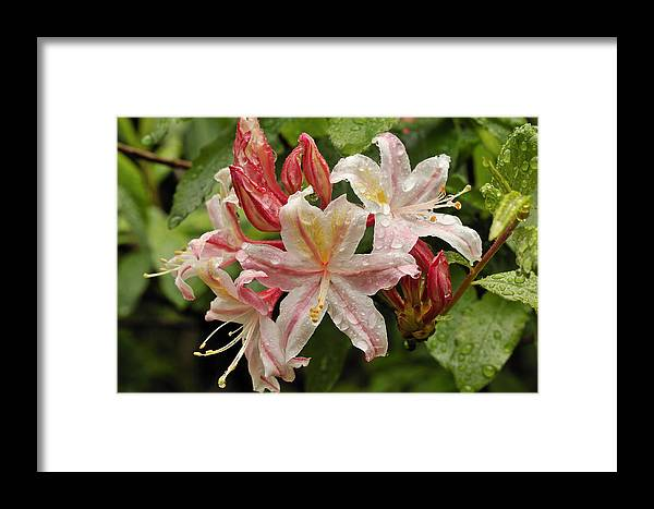 Flowers Framed Print featuring the photograph Springtime In Oregon by Clay and Gill Ross