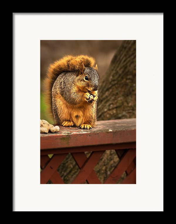 Eastern Fox Squirrel Framed Print featuring the photograph Squirrel Eating A Peanut by Onyonet Photo Studios