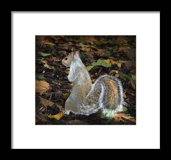 Squirrel Framed Print featuring the photograph Squirrel by Gina Dsgn