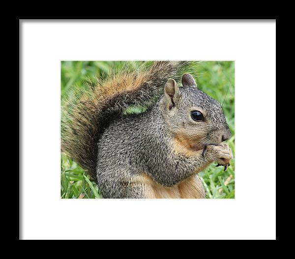 Squirrel Framed Print featuring the photograph Squirrel Thief by TN Fairey