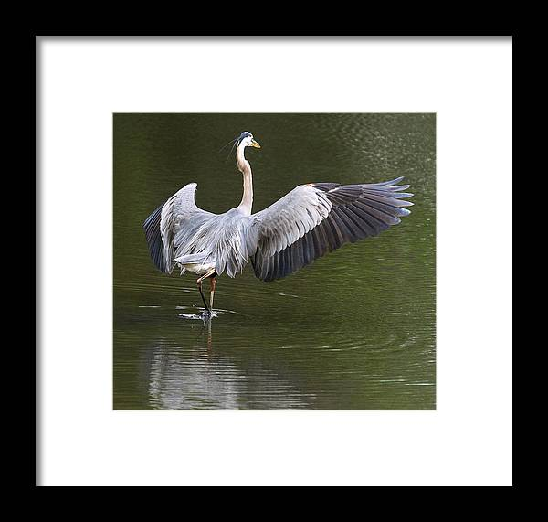 Framed Print featuring the photograph Stalking by Donnie Smith