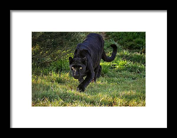 Panther Framed Print featuring the photograph Stalking Leopard by Evelyn Harrison