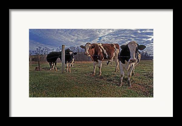 Cows Framed Print featuring the photograph Stand Yer Ground by Skip Willits