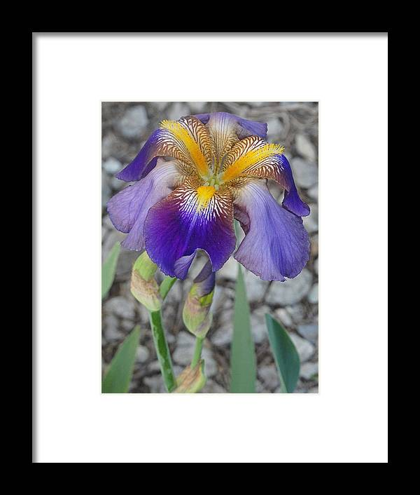 Blooming Flowers Framed Print featuring the photograph Standing Iris by Greg Boutz