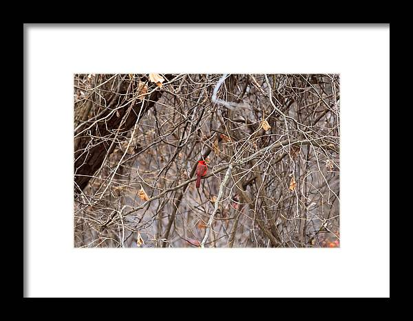 Cardinal Framed Print featuring the photograph Standing Out by Kyle Underwood