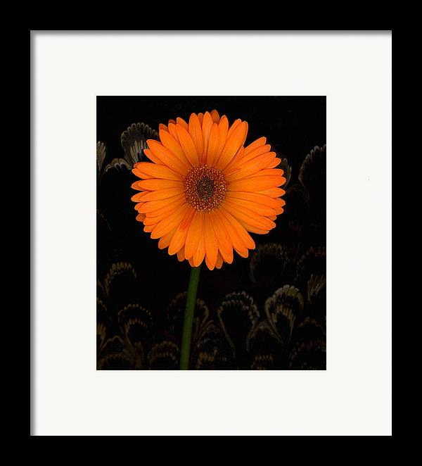 Gerbera Daisy Framed Print featuring the photograph Standing Tall by Suzanne Gaff
