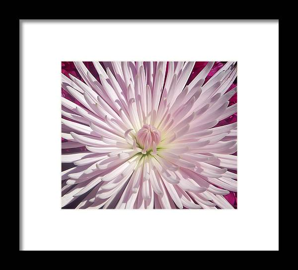 Chrysanthemum Framed Print featuring the photograph Starburst by Aimee L Maher ALM GALLERY