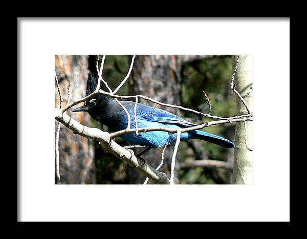 Colorado Framed Print featuring the photograph Steller's Jay - Peaking Through Branches by Marilyn Burton