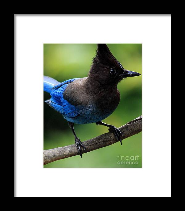 Bird Framed Print featuring the photograph Stellers Jay by Wingsdomain Art and Photography