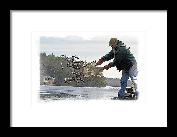 Rainbow Trout Framed Print featuring the photograph Stocking Rainbow Trout by Constantine Gregory