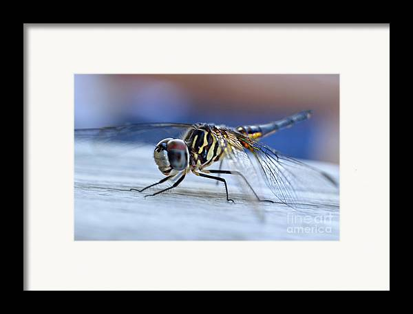 Tiger Dragonflies Framed Print featuring the photograph Stop By Tiger Dragon Fly by Peggy Franz
