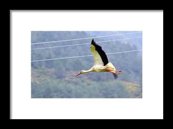 White Stork Framed Print featuring the photograph Stork In Flight by Taiche Acrylic Art