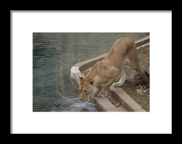 Lion Framed Print featuring the photograph Strength And Courage by Dervent Wiltshire