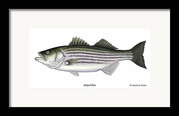Striped Bass Art Framed Print featuring the painting Striped Bass by Charles Harden
