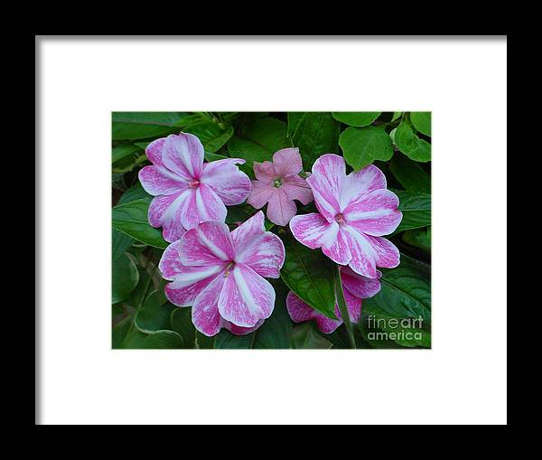 Flower Framed Print featuring the photograph Striped Flower by Nancie Johnson