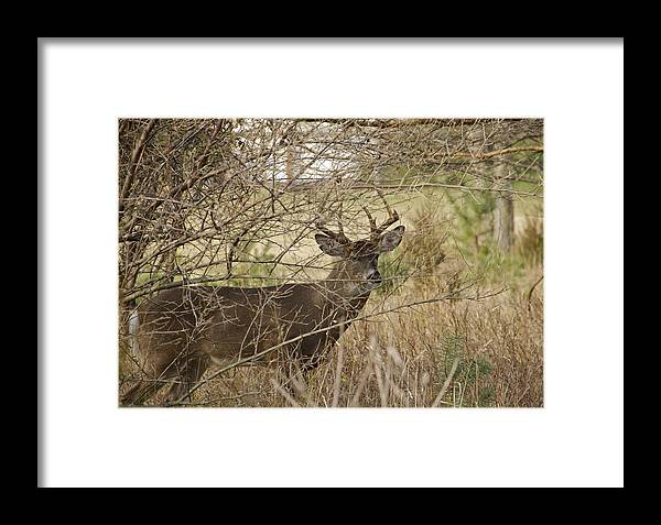 Buck Framed Print featuring the photograph Strong by Kimberly Davidson