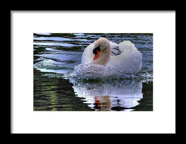 Swan Swimming Framed Print featuring the photograph Strong Swimmer by Dennis Baswell
