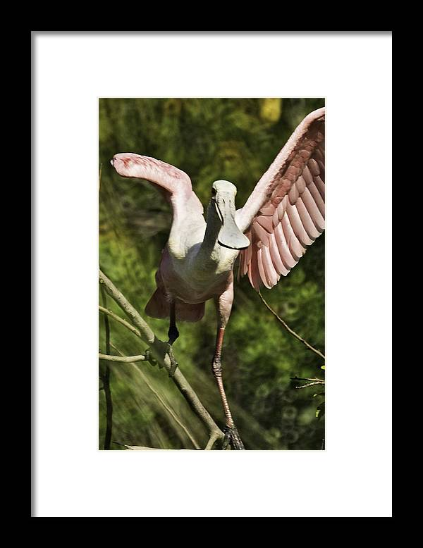 Roseate Framed Print featuring the photograph Strutting - 3d by James Ekstrom